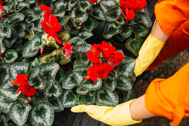 Elevated view of a gardener picking up red flower plant