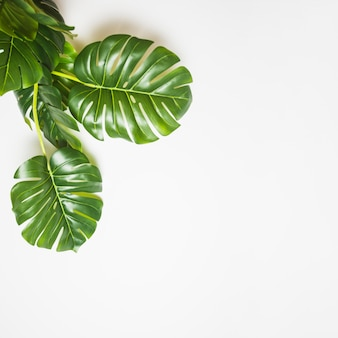 An elevated view of green monstera leaves on white backdrop