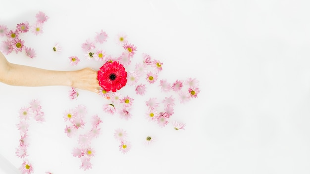 Elevated view of human hand holding red flower on white backdrop