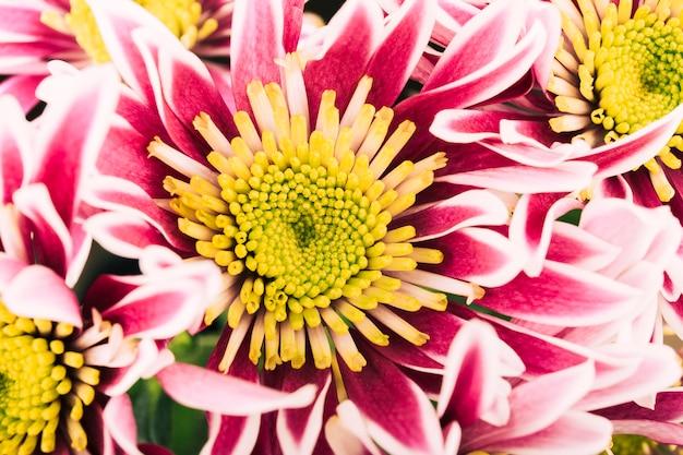 美しい菊のピンクの花の高さのビュー