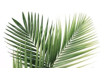 Elevated view of green palm leaves over white background