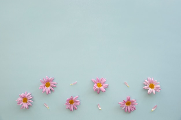 Elevated view of pink daisy flowers and petals on blue background