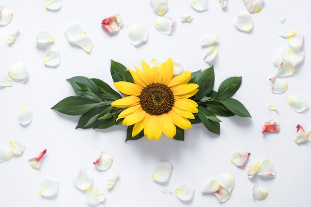 Elevated view of sunflower surrounded with white petals