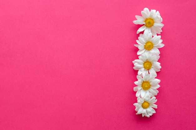 Elevated view of white daisy flowers arranged in row over pink background