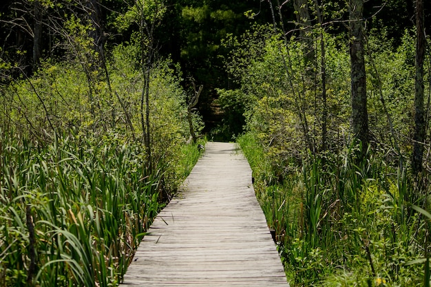Elevated wooden pathway going through tall plants in the forest