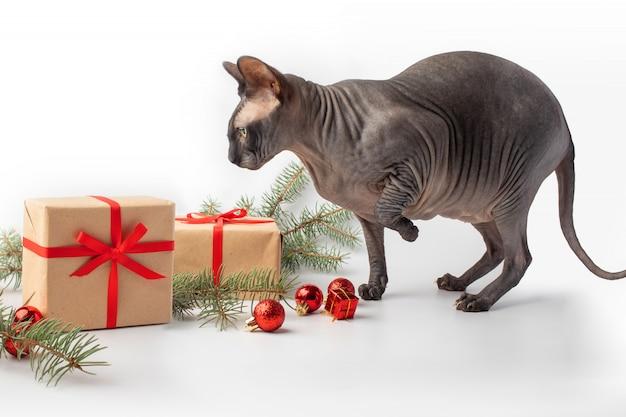 Одна голая кошка вокруг рождественского новогоднего подарка от elf cat и канадского сфинкса. день подарков copyspace. рождественская открытка , .