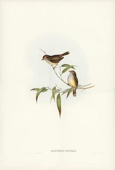 Elizabeth gouldによって描かれたリトルブラウンacanthiza(acanthiza pusilla)
