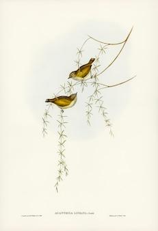 エリザベス・グールド(elizabeth gould)によって描かれた育てられたアカンチザ(acanthiza lineata)