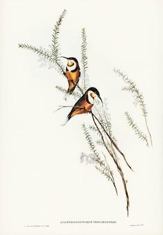 エリザベス・グールド(elizabeth gould)が描いた細長い脊柱手形(acanthorhynchus tenuirostris)