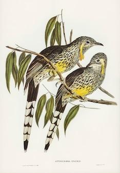 エリザベス・グールド(elizabeth gould)によって描かれた灰色のワットルド・ハニー・イーター(anthochaera inauris)