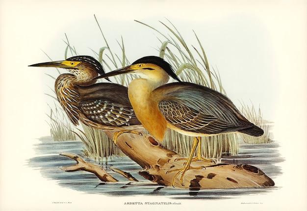 エリザベス・グールド(elizabeth gould)によって描かれた小グレーの鳥(ardetta stagnatilis)