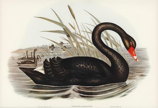 エリザベス・グールド(elizabeth gould)が描いたブラックスワン(black swan、cygnus atratus)