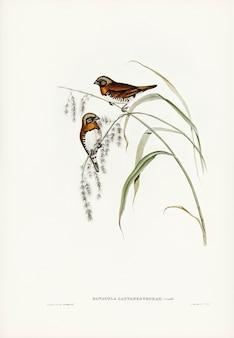 エリザベス・グールド(elizabeth gould)によって描かれたチェスナットブレンドフィンチ(donacola castaneothorax)