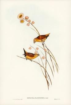 エリザベス・グールド(elizabeth gould)によって描かれた黄色い枝のついたフィンチ(donacola flaviprymna、gould)