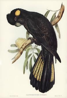 Elizabeth gouldが描いたfunereal cockatoo(calyptorhynchus funereus)