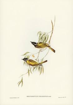 エリザベス・グールド(elizabeth gould)が描いたスワン川ハニー・イーター(melithreptus chloropsis)
