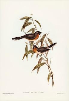 エリザベス・グールド(elizabeth gould)が描いたブラックフライト・フライキャッチャー(monarcha trivirgata)