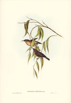 エリザベス・グールド(elizabeth gould)によって描かれた不明瞭なハニー・イーター(myzomela obscura)