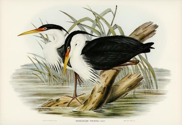 エリザベス・グールド(elizabeth gould)が描いたピエドリエ(pied egret、herodias picata)
