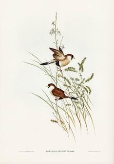 エリザベス・グールド(elizabeth gould)によって描かれた白い耳付き草の枝(poephila leucotis)