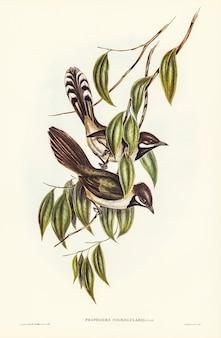 エリザベス・グールド(elizabeth gould)が描いたブラック・スロート・ポソホド(psophodes nigrogularis)