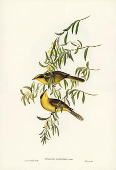エリザベス・グールド(elizabeth gould)が描いた黄色タフテッド・ハニー・イーター(ptilotis auricomis)