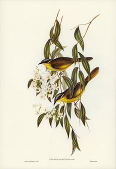 エリザベス・グールド(elizabeth gould)が描いたワット・ティック・ハニー・イーター(ptilotis cratitius)