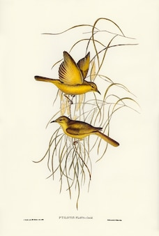 Elizabeth gouldが描く黄色のハニー・イーター(ptilotis flava)