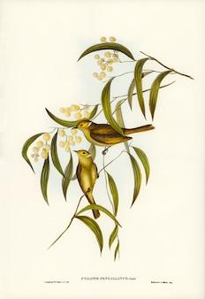 エリザベス・グールド(elizabeth gould)によって描かれた白いプラムのハチミツ(ptilotis penicillatus)