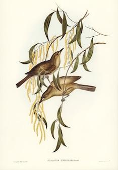 エリザベス・グールド(elizabeth gould)が描いたユニフォーム・ハニー・イーター(ptilotis unicolor)