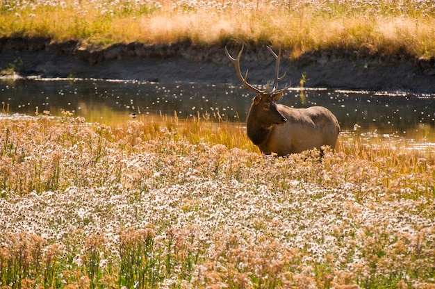 Elk by a river
