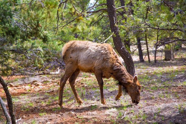 Elk deer grazing in arizona grand canyon park