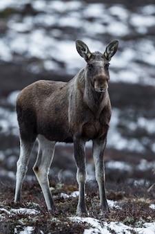 Elk or moose, alces alces, on dovre in norway