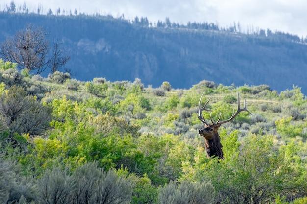 Elkまたはwapiticervus canadensis