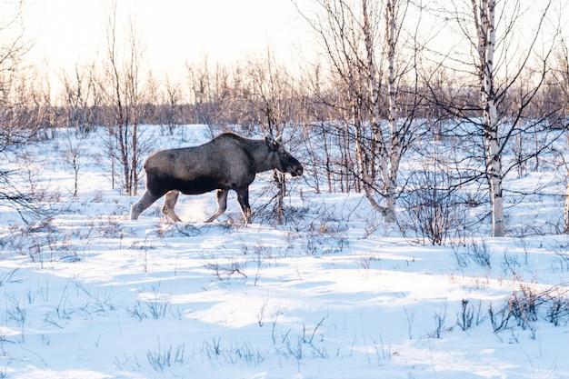 スウェーデン北部の雪に覆われたフィールドを歩くエルク