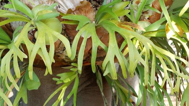Элкхорн олений папоротник зеленые листья экзотические тропические джунгли амазонки тропические леса ботаническая атмосфера естественная пышная листва яркая зелень рай эстетика platycerium bifurcatum сочные свежие растения