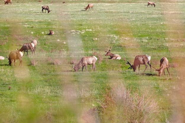 Elks on meadow in the rocky mountain national park