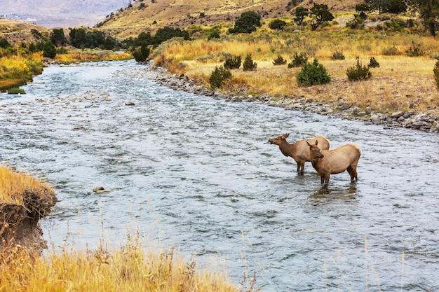 エルクスはイエローストーン国立公園の沸騰する川の水に立っています