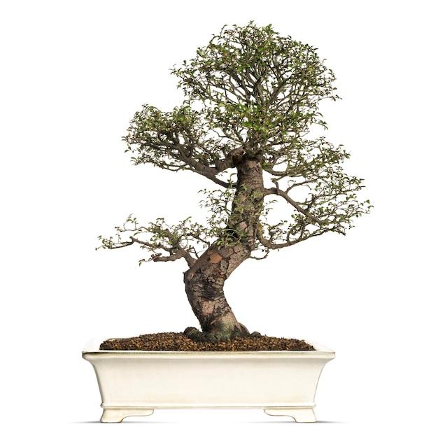 느릅 나무 분재 나무, ulmus, 흰색 절연