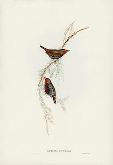 エリザベス・グールドが描いた絵画のフィンチ(emblema picta)