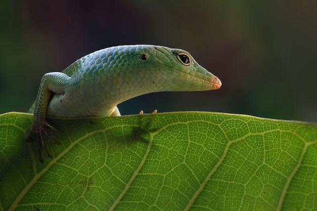 Emerald tree skink on dry leaf