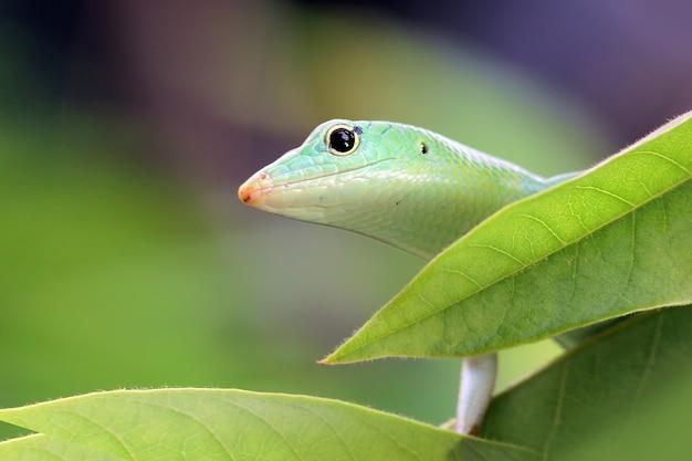 녹색 잎에 에메랄드 나무 skink