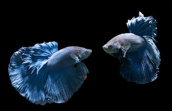 Emotion of blue siamese fighting fish, betta splendens isolated on black background