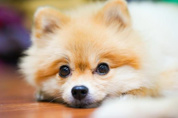정서적 지원 동물 개념. 바닥에 잠자는 포메라니안 개
