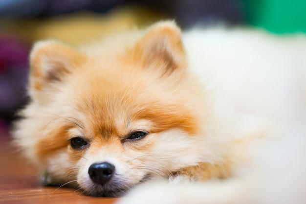 Emotional support animal concept. sleepy pomeranian dog in floor.