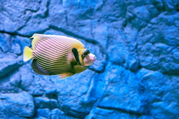 Emperor angelfish 또는 pomacanthus imperator는 해양 엔젤 피시의 종입니다. 암초 관련 물고기입니다.