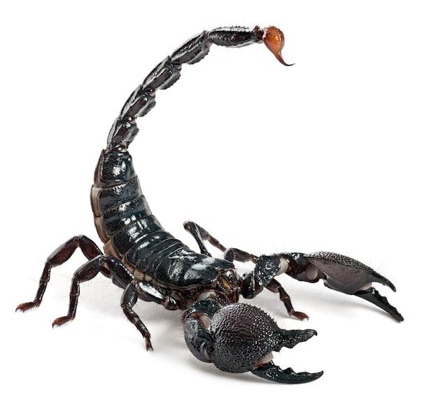 Императорский скорпион - император пандин