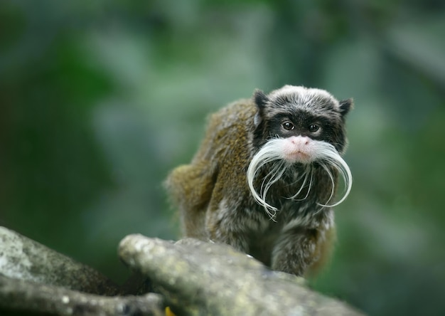 Emperor tamarin monkey with huge whiskers
