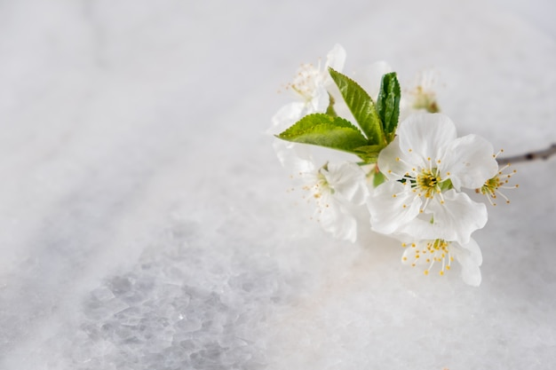 Empty marble board for product display with cherry blossoms flowers . spa and bodycare