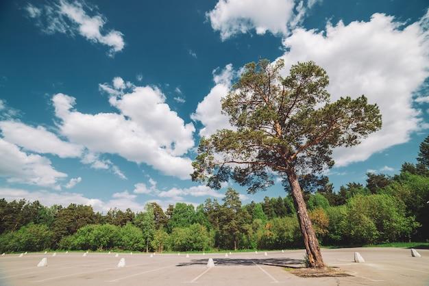 晴れた日に空の駐車場。高い松の木は、日光の森の近くの駐車場にアスファルトで成長します。駐車場のクローズアップの道路標識。